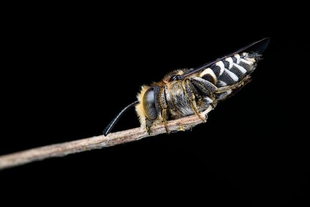 뻐꾸기 coelioxys sp. 나뭇가지에 집착. 예리한 꼬리 꿀벌, 예리한 복부 꿀벌 및 예리한 배 벌