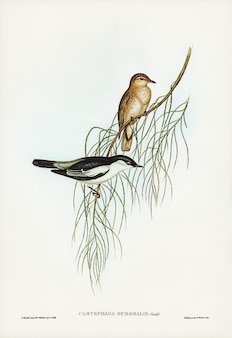 Белая плеча cuckooshrike (campephaga humeralis), иллюстрированная элизабет гулд