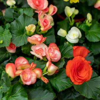 クラブベゴニアまたはワックスベゴニアとしても知られている黄色の赤いベゴニアcucullata、クローズアップ、庭園の高角度のビュー