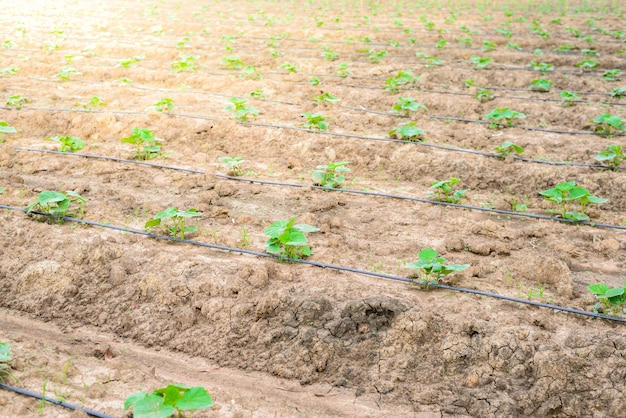 Cucumber field growing with drip irrigation system.