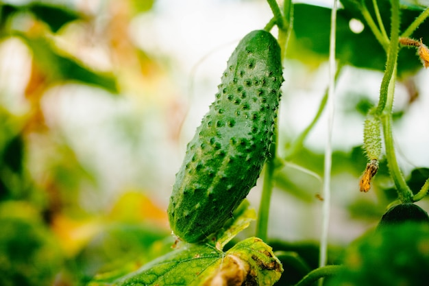 Cucumber grows on a branch close-up