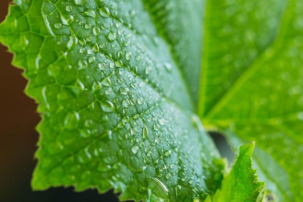 Cucumber leaf with dew closeup