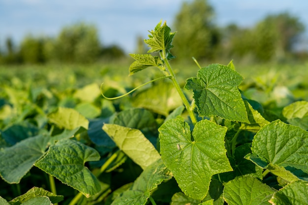 Cucumber leaves field