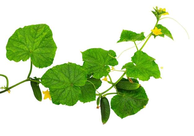 오이 공장. 잎과 꽃 흰색 배경에 고립 된 오이. 신선한 유기농 오이 야채.