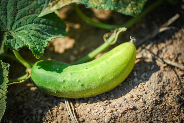 Cucumber plant in the garden wait harvest - fresh organic cucumber growing in the soil at farm