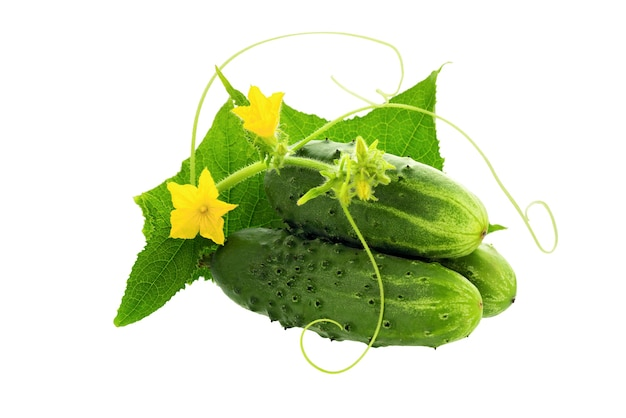 キュウリ。白い背景で隔離の葉と花と緑のキュウリ。新鮮な有機キュウリ野菜。
