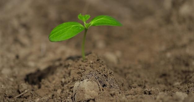 家庭菜園で植物を植えながら、農民の手で野菜を植えるキュウリ植物環境にやさしい農業のコンセプト