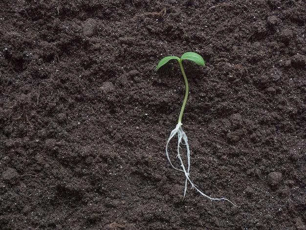 植える前に地面に広げたキュウリの苗
