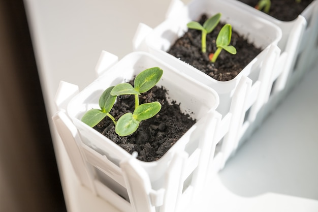 오이 모종 식물에 대 한 준비가 컨테이너에 콩나물.