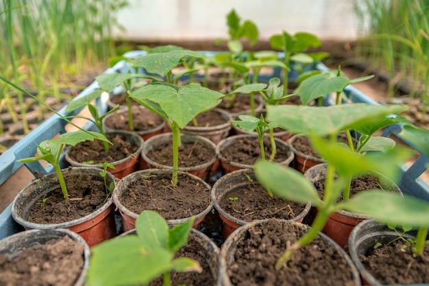 有機農場の温室でキュウリの苗