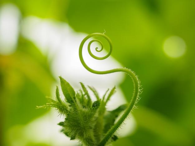 きゅうりの触手がらせん状にねじれ、植生の背景がぼやけてクローズアップ