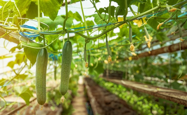 Cucumbers growing in a greenhouse, healthy vegetables without pesticide, organic product. copy space