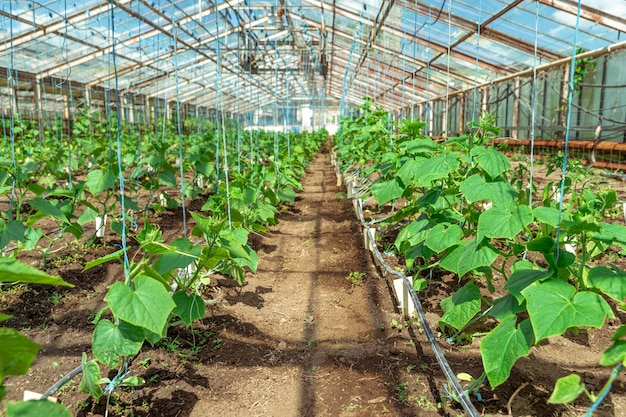 Cucumbers growing in a greenhouse, healthy vegetables without pesticide, organic product
