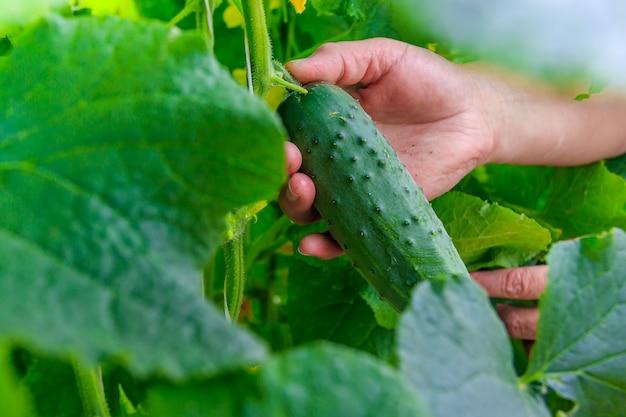 지점에 오이. 수확. 야채를 재배하십시오. 비 gmo 야채.