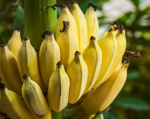 Cultivated banana real nature.