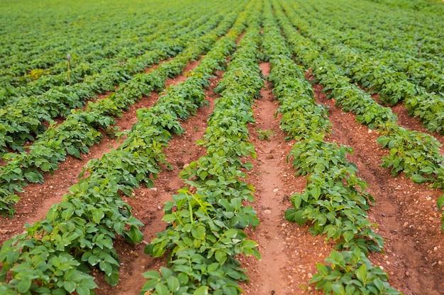 Обрабатываемое поле: грядки свежих зеленых растений.