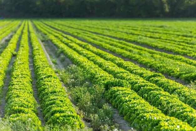 재배 필드 : 신선한 그린 샐러드 침대 줄