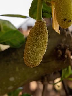 종의 재배 잭프루트 나무 artocarpus heterophyllus