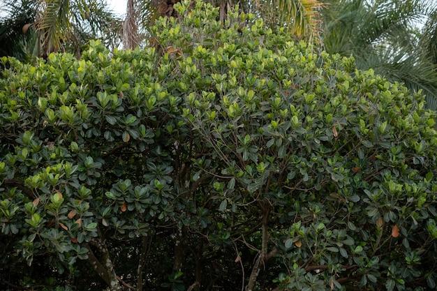 Cultivated jackfruit tree of the species artocarpus heterophyllus