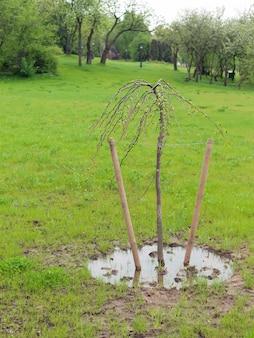 緑豊かな公園の牧草地に新鮮な春の葉を持つ栽培された小さな木の茎