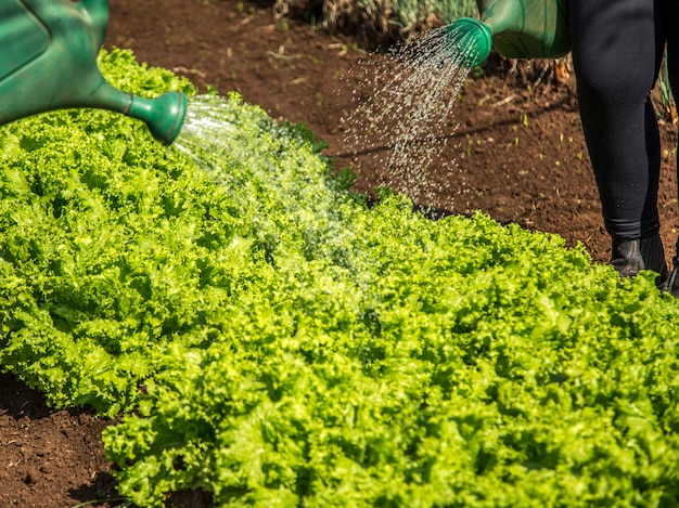 Cultivation and harvesting of lettuce irrigation