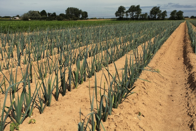 Cultivation of leeks in the sand in a field in normandy