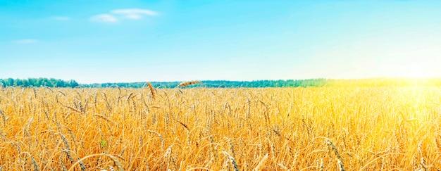 Выращивание злаков. красивый сельский пейзаж с желтыми растениями и голубым небом. пшеница в поле. сельское хозяйство алтайского края в россии. концепция богатого урожая. панорамный снимок.