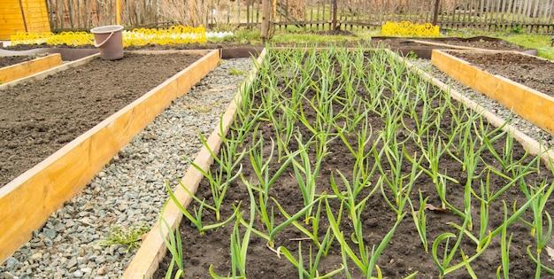 마늘과 양파의 재배, 유기농법에 따른 채소 재배용 나무 침대. 자갈이 깔린 정원 산책로