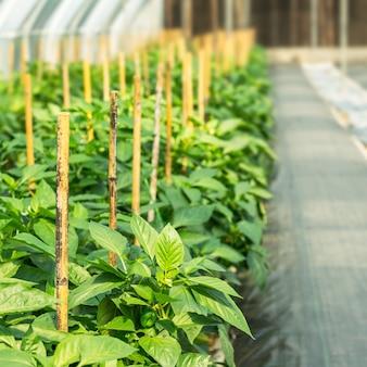 苗床でのピーマンの栽培