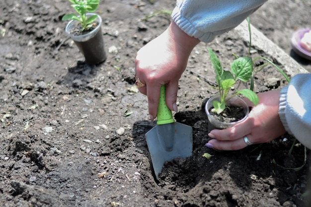 The cultivation of seedlings in the garden.
