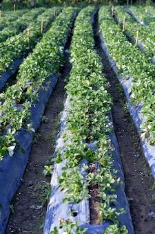 Cultivation strawberry farm.