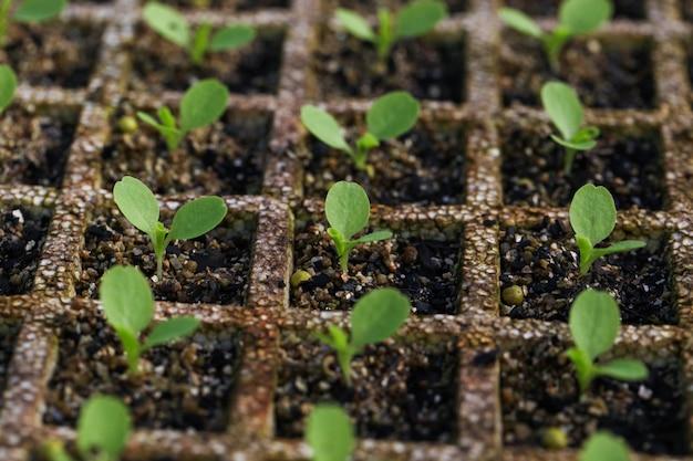 温室での有機サラダの文化