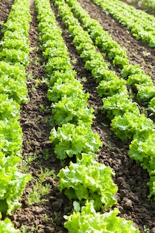 Culture of organic salad in greenhouses