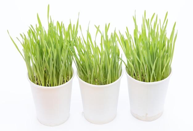 흰색 바탕에 밀 잔디 컵