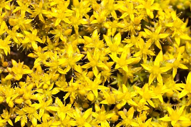 동종 요법 노란색 st. john 's wort 꽃에 사용되는 치료제로 들판에서 큰 덤불을 자랍니다.