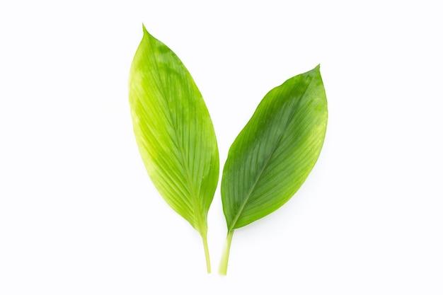 Curcuma comosa leaves on white background.