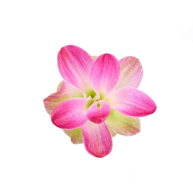 Curcumassesilis花は白い背景に分離します。