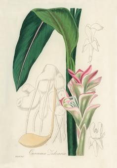 Белая куркума (curcuma zedoaria) иллюстрация из медицинской ботаники (1836)