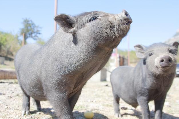 骨董品の子豚