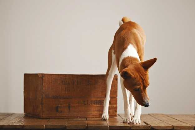 A curious brown and white dog is looking around and sniffing air in a studio with white walls, rustic wooden floor and nice vintage box
