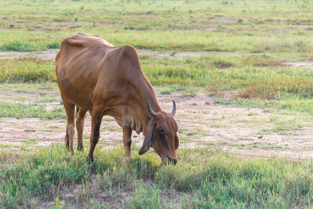 フィールドで好奇心cow盛な牛。