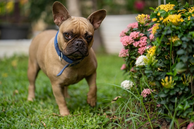 Curious cute french bulldog standing at the ixora flower.