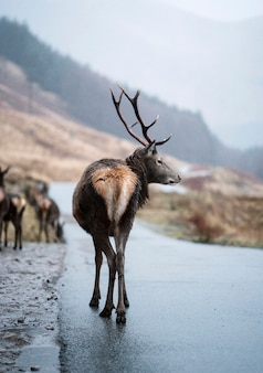 Curious deer in the highlands
