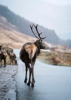 高地の好奇心が強い鹿