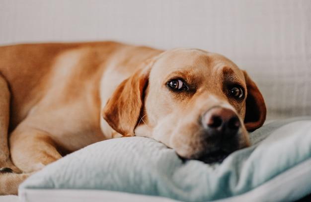 ソファーで横になっている好奇心が強い犬。ペットの家のコンセプトを持っています。不適切なペットのコンセプト。