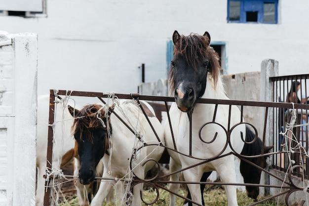 牧場の好奇心旺盛な国内のポニーが柵の後ろから外を眺めています。農業と畜産。