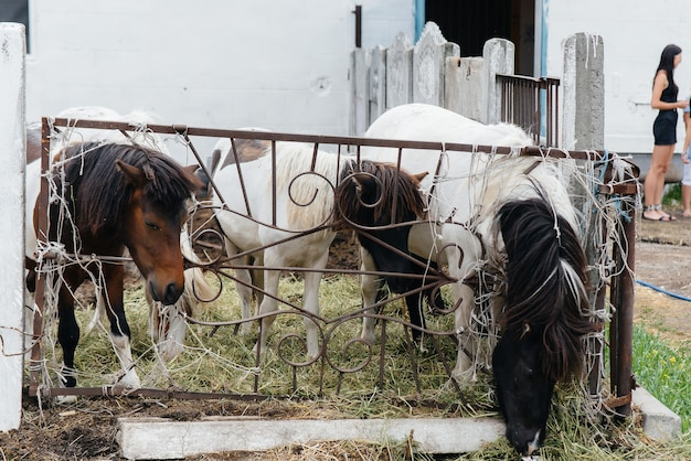 Curious domestic ponies on the ranch look out from behind the fence. agriculture and animal husbandry.