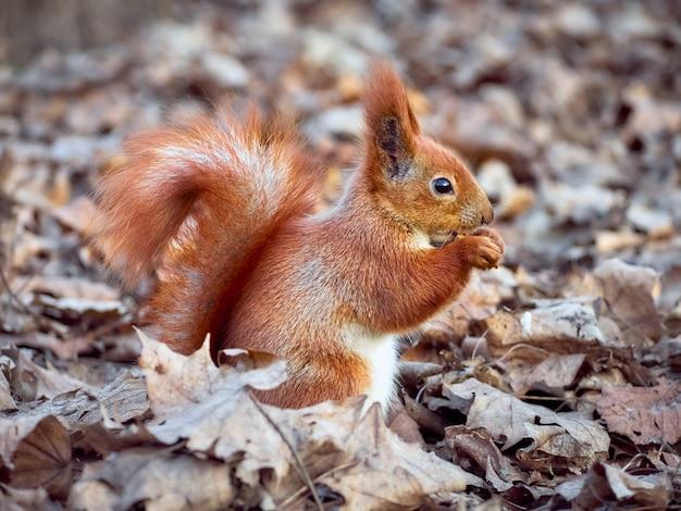 Curious european squirrel.
