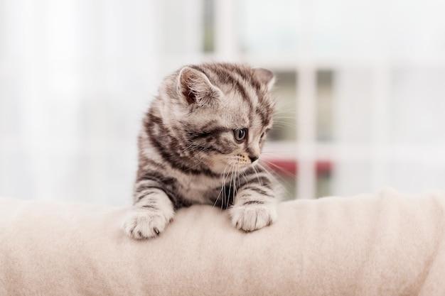 Любопытный исследователь. любопытный маленький котенок шотландской вислоухой смотрит в сторону, сидя в помещении