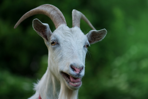 Curious happy goat, funny silly looking  goat
